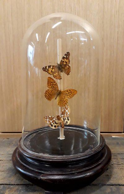 Opgezette vlinders in antieke stolp